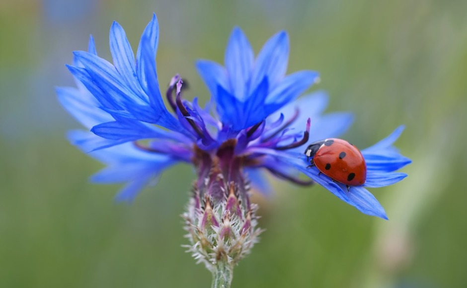 A ladybug on a blue cornflower