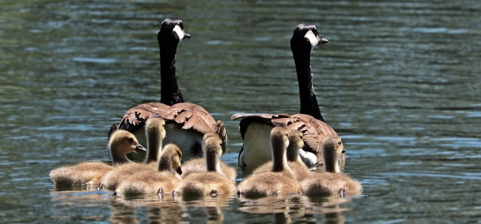 Pair of geese with their eight goslings