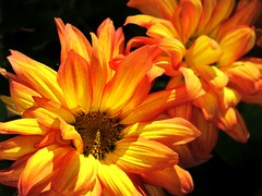 golden and orange fall mums