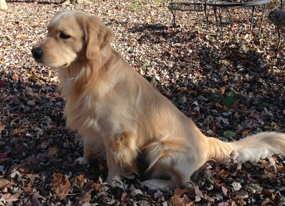 Golden Brodie sitting in the fallen leaves