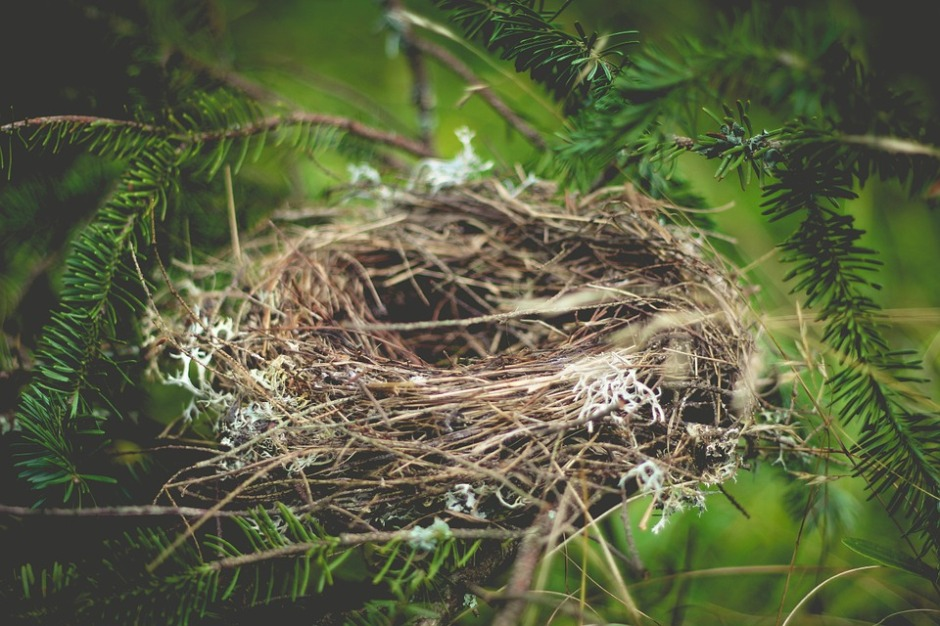an empty bird's nest sets on an evergreen branch