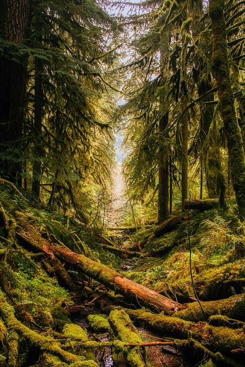 Fallen trees in an Oregon forest