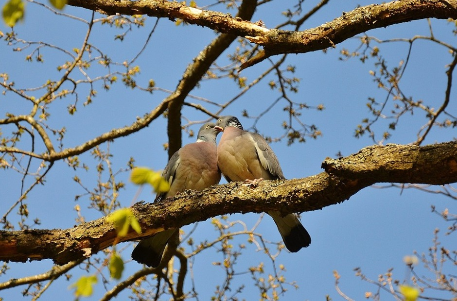 Two pigeons sitting on a tree branch touching their beaks.