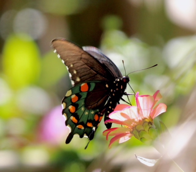 Pipeline Swallowtail finding nectar in the autumn