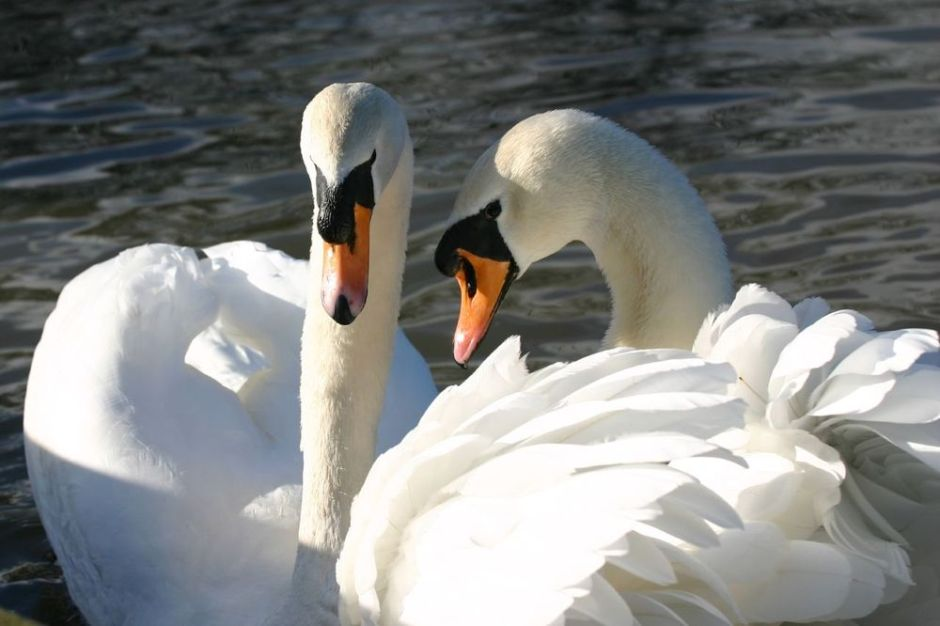 A swan duo together on a lake
