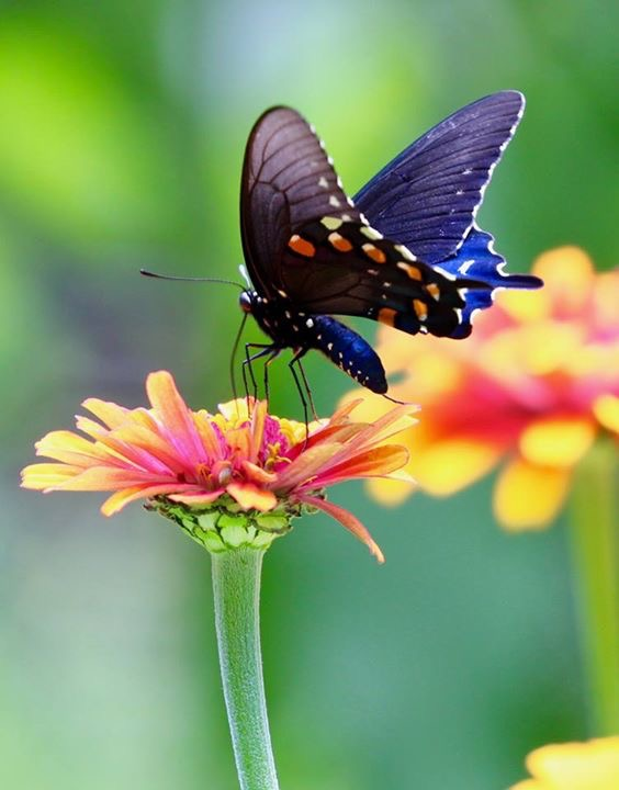 Swallowtail butterfly nectaring on a golden zinnia