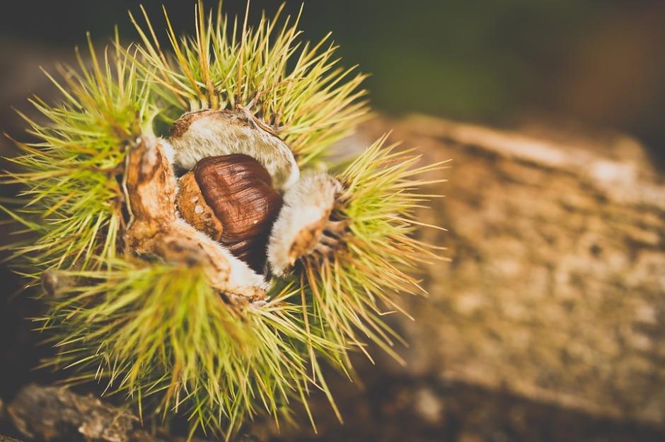 A ripening chestnut