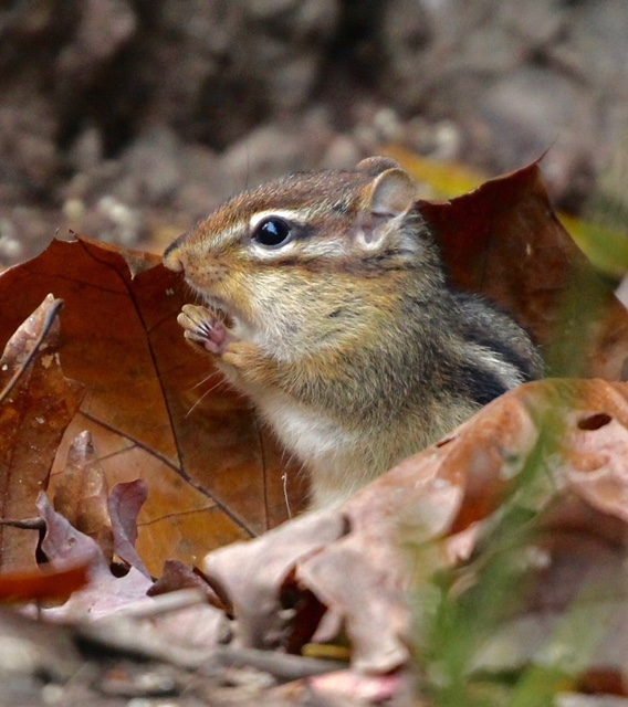Chipmunk in profile surrounded by dried leaves in the fall