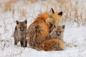 A female red fox with her two kits in the snow