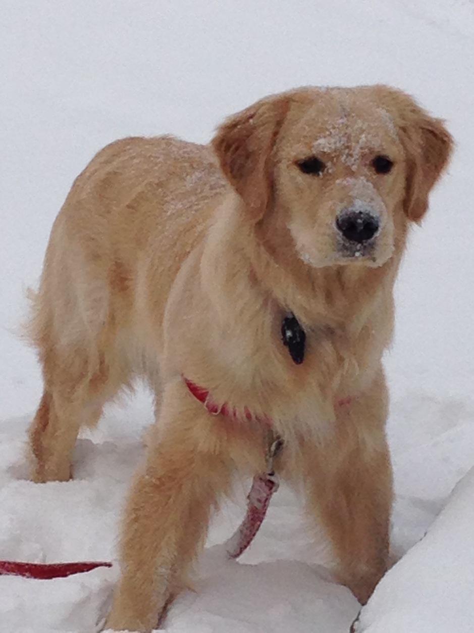 Golden Retriever Brodie in the snow