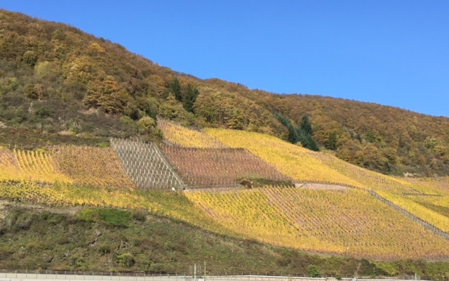 Grape vines along the Middle Rhine River
