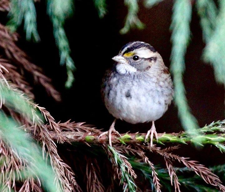 Puffy sparrow in the cold air