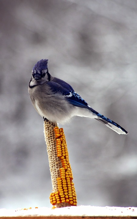 Blue jay on a corn cob