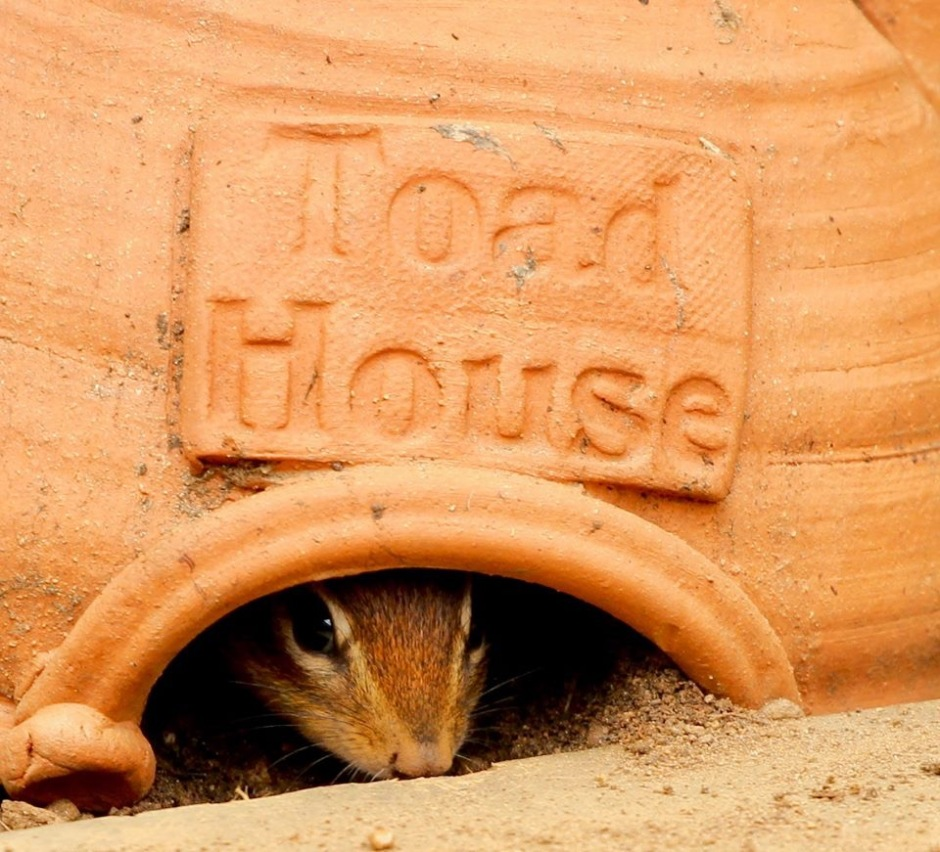 Chipmunk peaking through the opening of a toad house in winter