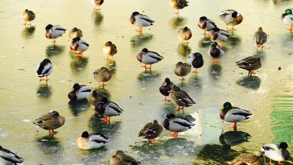 Ducks on an icy pond