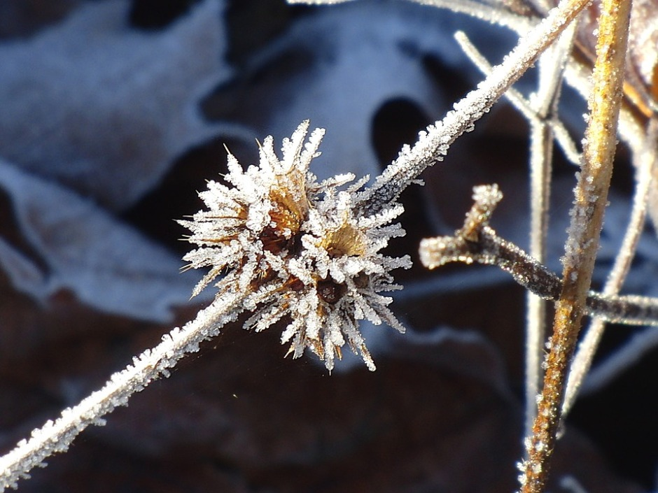 Frost on the leaves and twigs