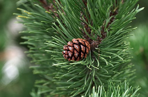 a small single pinecone growing naturally on its pine
