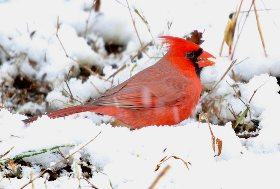 Male cardinal feeding on the snow covered ground