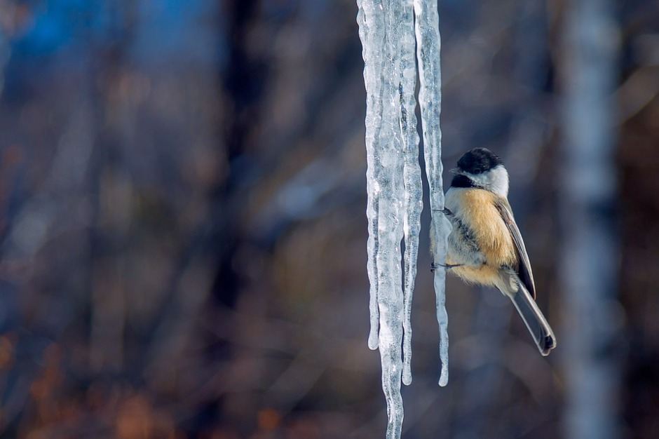 A Black-capped Chickadee perches on a long ice cycle