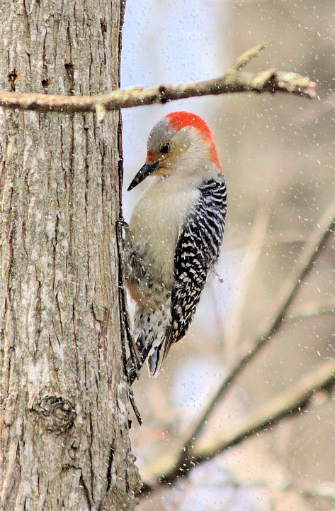 Red-bellied Woodpecker in the snow