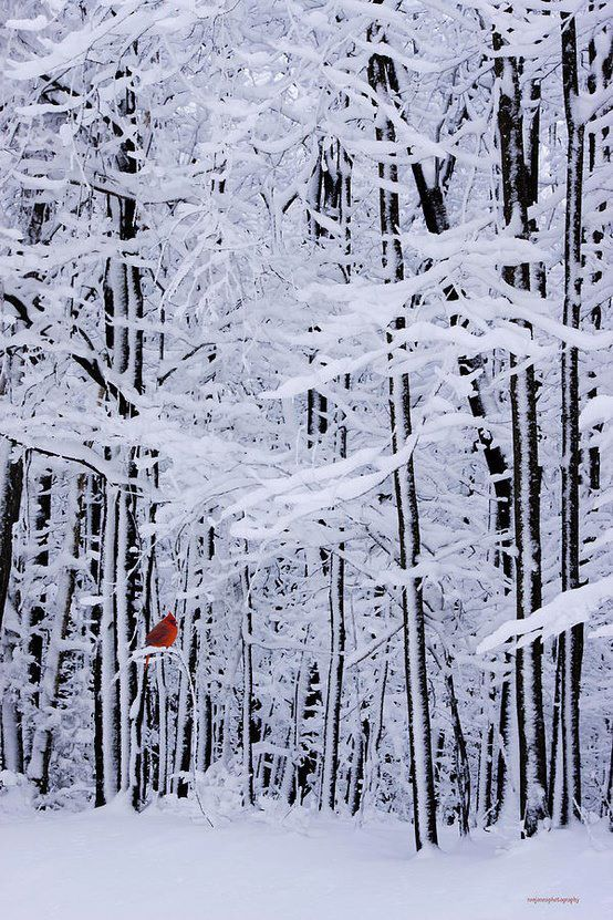 Lonely red cardinal perched in a snow covered forest