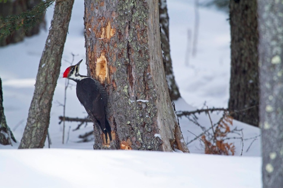 Female Pileated Woodpecker drumming on a dead tree in the snow
