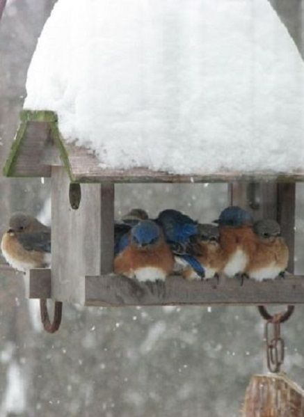 Several bluebirds huddle together in a wooden bird feeder...snow heaped on the top of the feeder