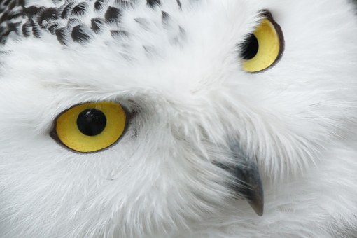 Close-up of face of a snowy owl