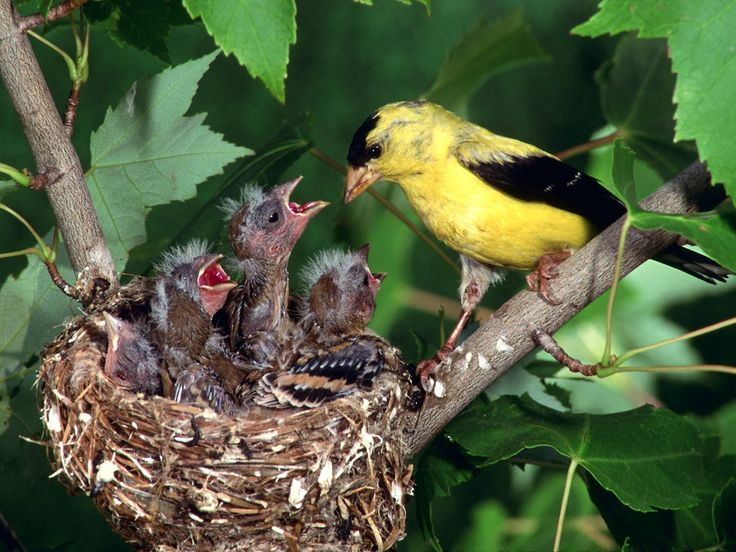 Mother Goldfinch feeding her baby birds in her nest