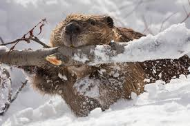 a beaver dragging a tree branch in the snow