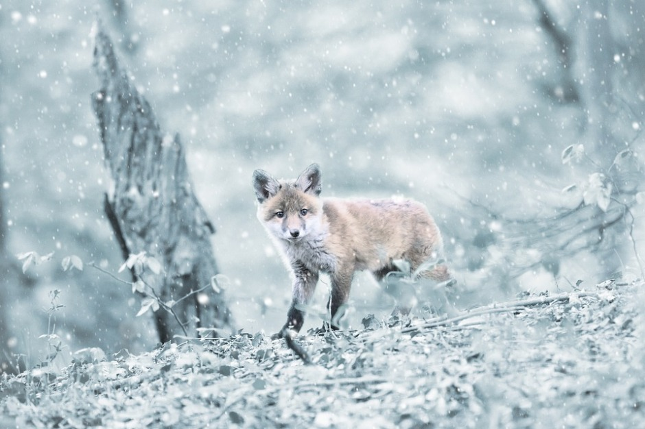 red fox kit in the snow
