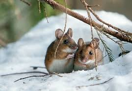 Two brown mice in the snow huddle together