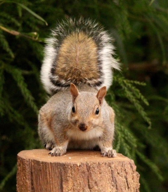 Brown squirrel faces off to the camera with tail in the air