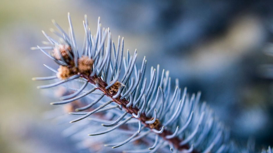 Close-up of a evergreen pine branch with budding pine cones