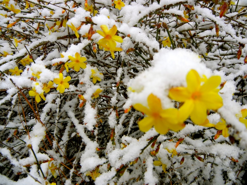 winter jasmine in the snow