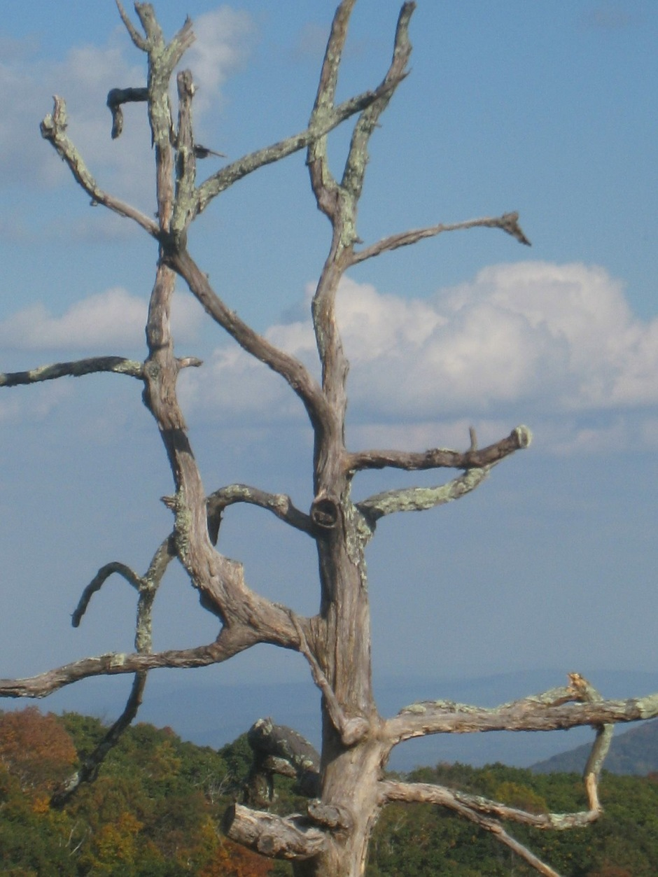 single old tree with blue ridge in background