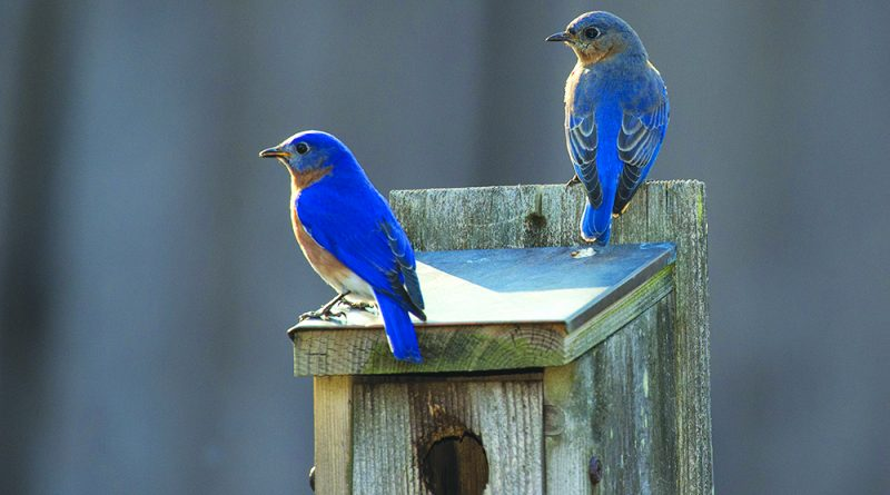 Mating bluebirds perched on their bluebird house basking in the sun
