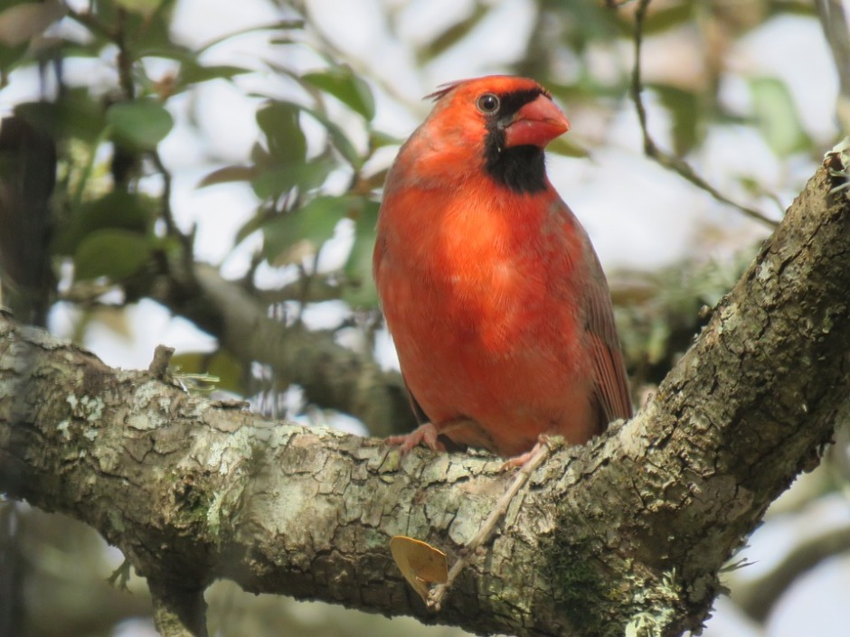Male cardinal perched and observing his environment