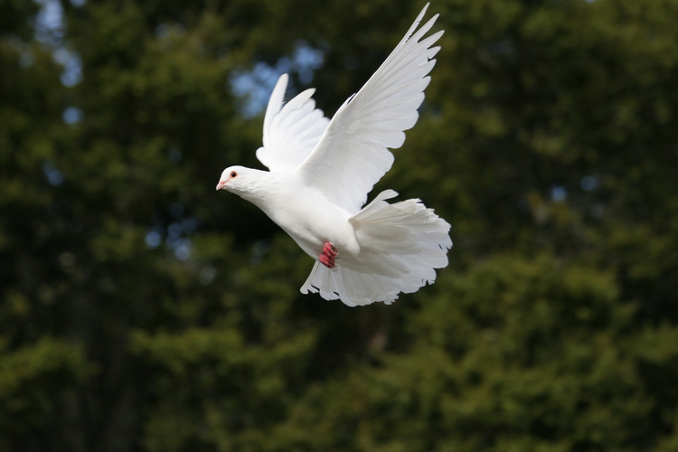 Elegant white dove in flight