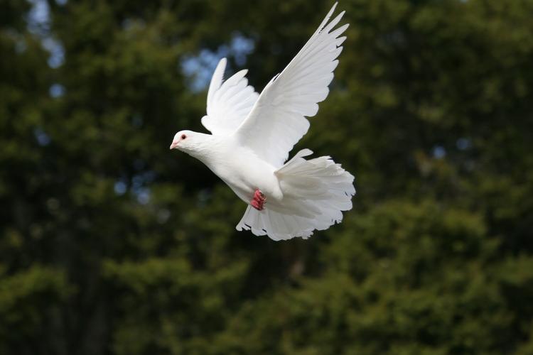 Elegant white dove in flight