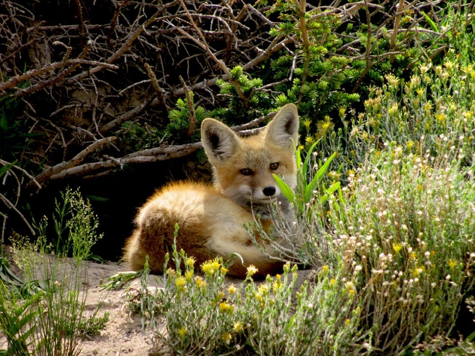 Red fox kit sunning in springs warmth