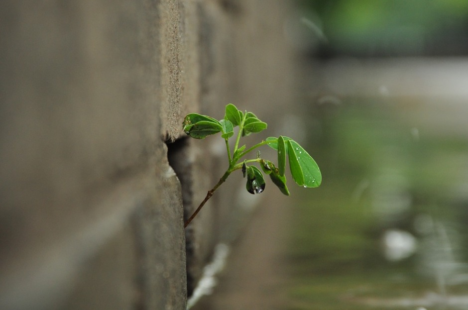 A spring green root emerges in the crack of a wall
