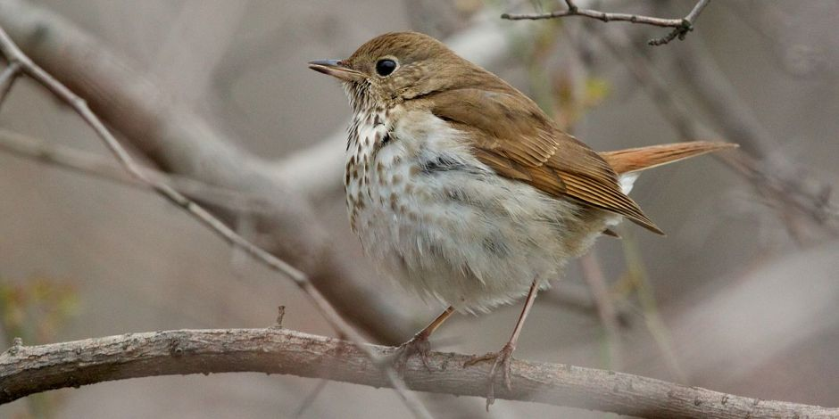 Hermit Thrush symbol of the State of Vermont