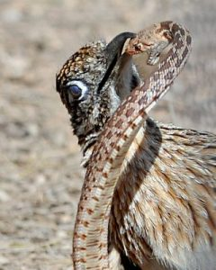 Greater roadrunner preys upon a rattlesnake