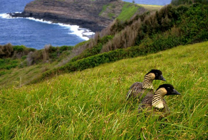 Nene endangered state bird Of Hawaii