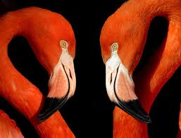 Two flamingos face to face