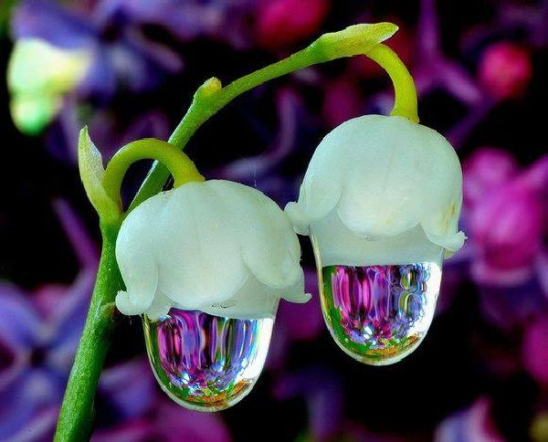 Two Lily of the Valley dripping rain drops