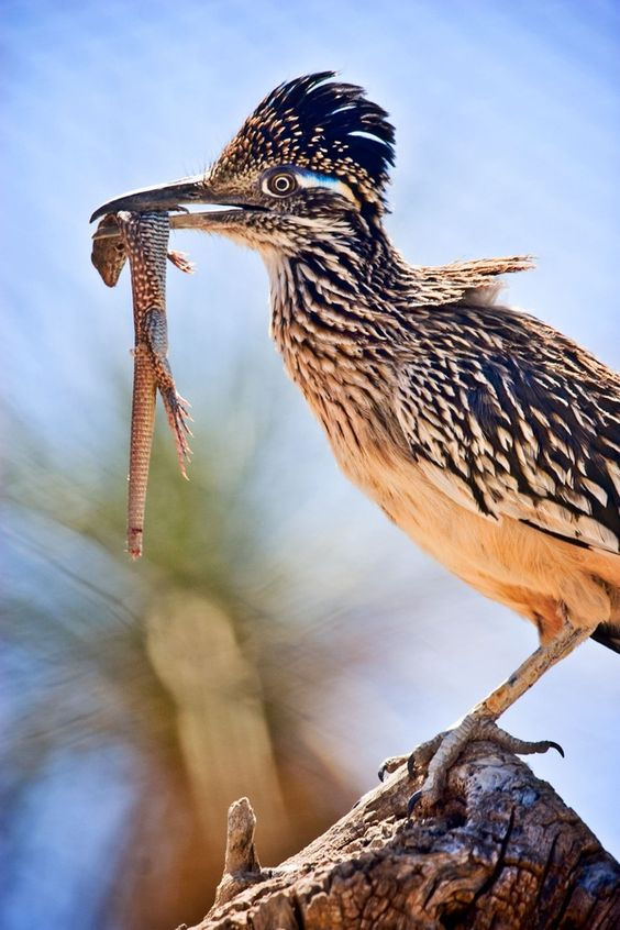 Greater roadrunner state symbol of New Mexico