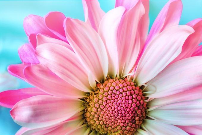 daisy center close up