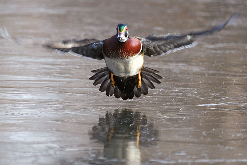 Wood duck takes off from a frozen lake